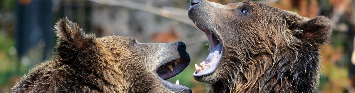 Спасённые медведи нашли новый дом